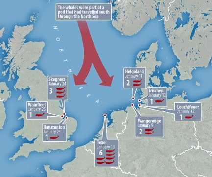 Map of sperm whale beachings in the north Sea - Jan 2016