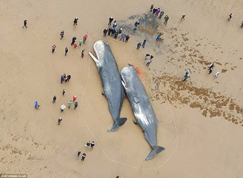 Sperm whales beached at Skegness - Jan 2016